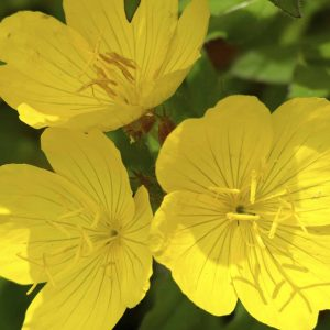 Evening Primrose Cream by New Vistas Healthcare